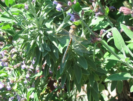 Picture_Dragonfly