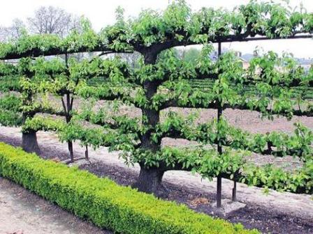 Espalier Supporttrellis on vegetable garden irrigation systems design