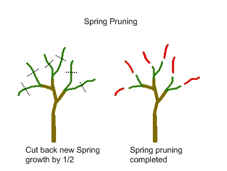 Backyard orchard culture deep green permaculture - Spring trimming orchard trees healthy ...