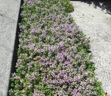 lawn_thyme