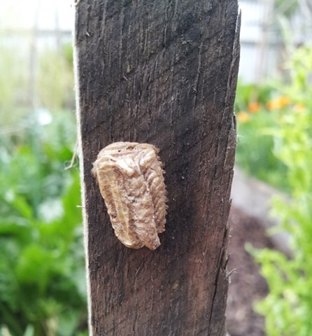 praying mantis egg case on a tomato stake