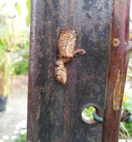 praying mantis egg case on steel post