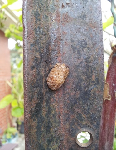 praying mantis egg case on steel post