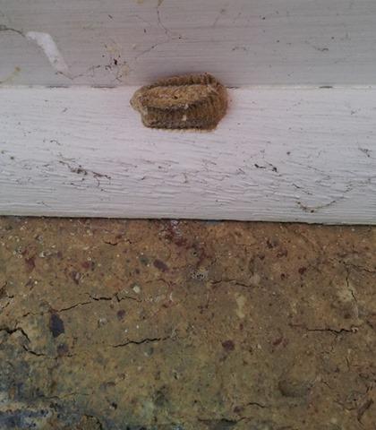 praying mantis egg case on wall