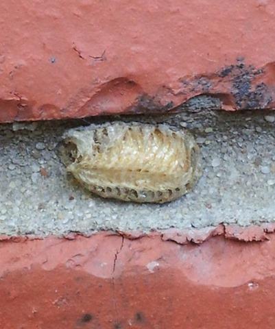 praying mantis egg case on brick wall