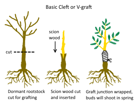 Asexual propagation grafting trees