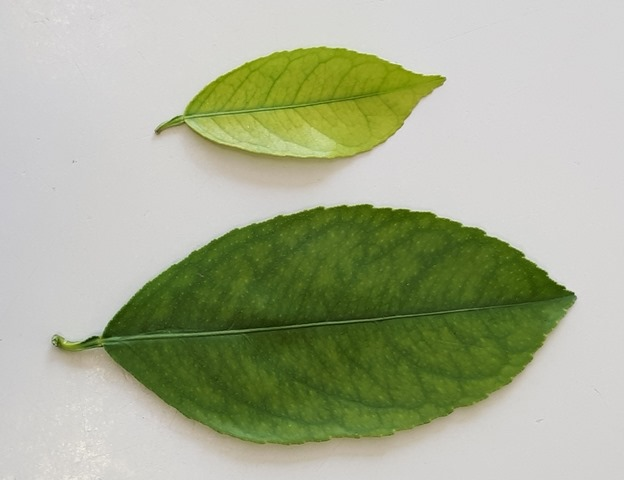 citrus nutrient deficiency yellow leaf with green veins deep green