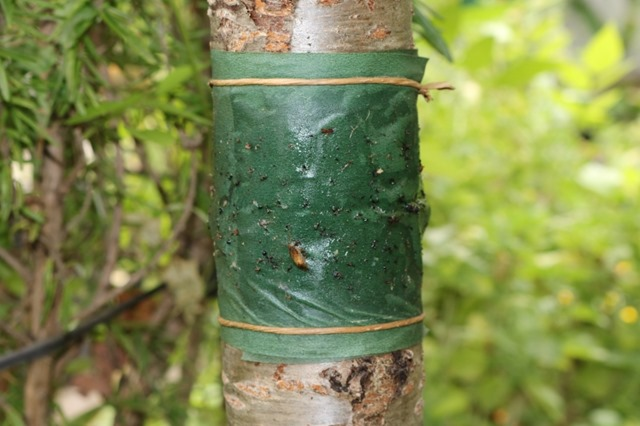 Horticultural Glues and Tree Banding Trees to Controls Ants and Other Pests