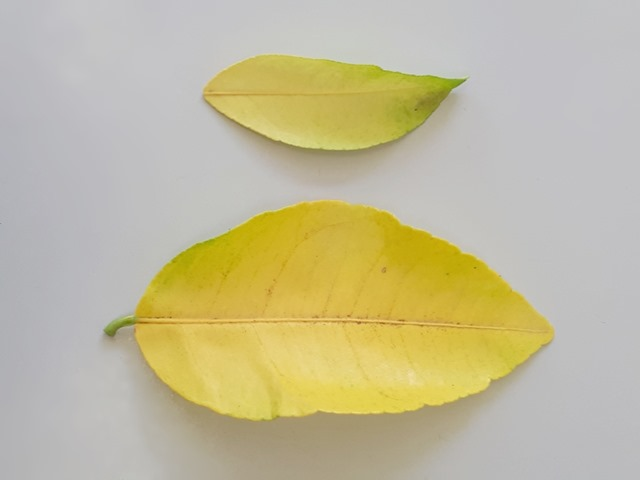 Citrus Nutrient Deficiency Yellow Leaves Deep Green Permaculture