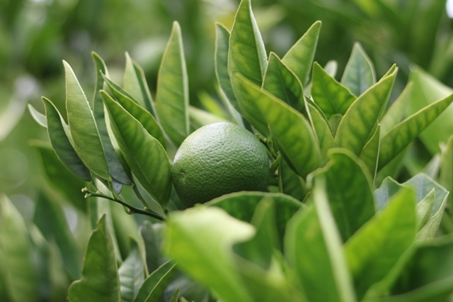 Citrus Problems – Why Is My Citrus Tree Dying?