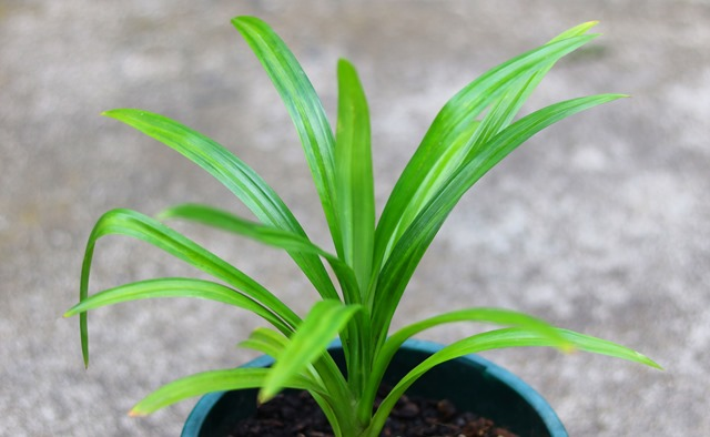 How to Grow Pandan in Temperate Climates