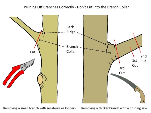 Tree Pruning, How to Remove Tree Branches Correctly