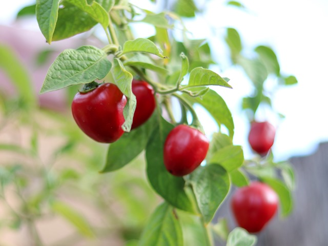Know and Identify Your Chilli Species