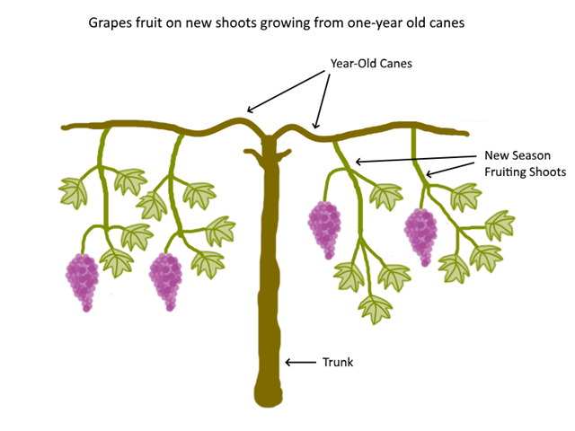 How To Prune Grape Vines Cane And Spur Pruning Explained Deep