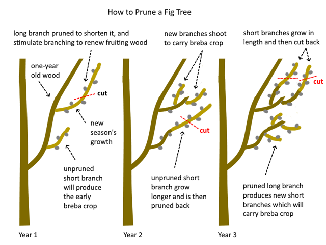 Pruning Of Mature Trees