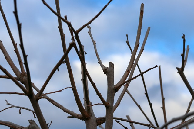 Fruit Trees with Special Pruning Requirements – Figs, Persimmons and Pomegranates