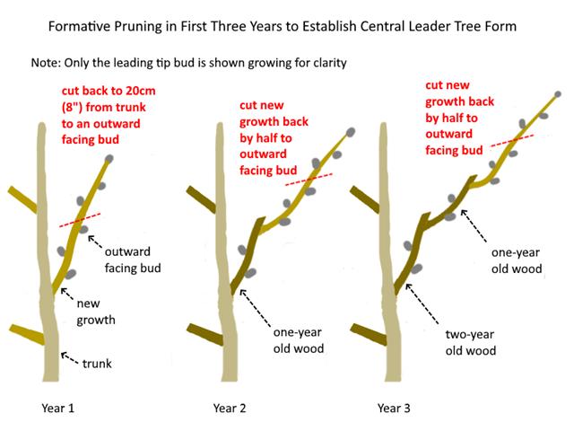 Pruning A Mature Tree Peony Cricket Hill Garden