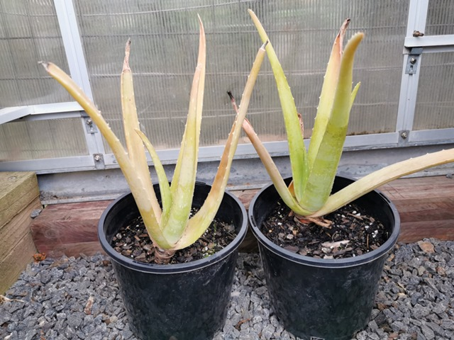 Tips Of Aloe Plant Turning Brown