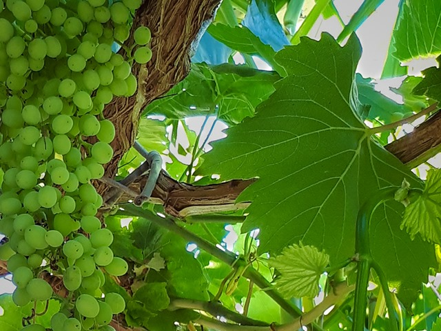 Which Variety Of Grape Vine Has Edible Leaves For Making Dolmades Deep Green Permaculture
